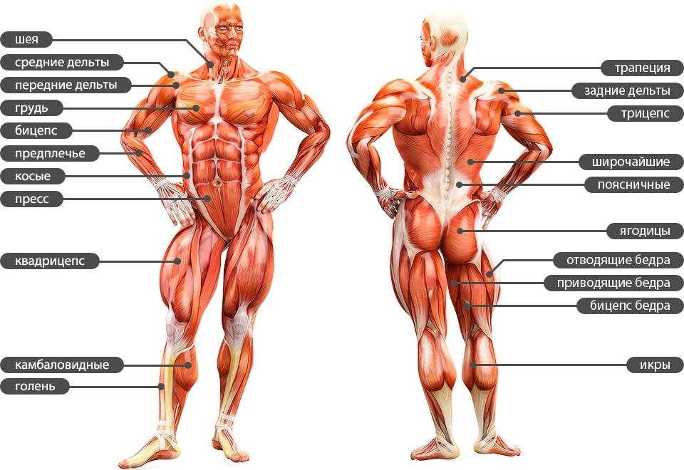 Анатомия человека в мышцах и в картинках
