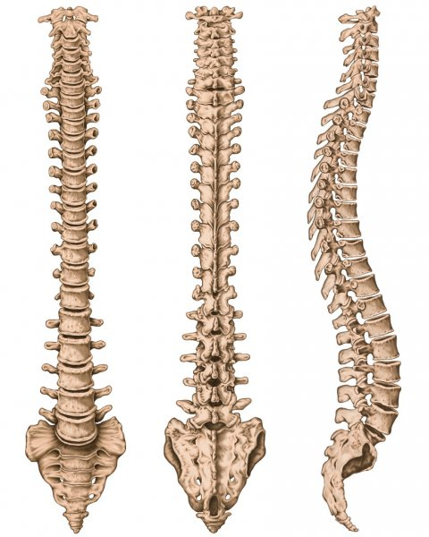 Anatomy of human bony system, human skeletal system, the skeleton, spine, columna vertebralis, vertebral column, vertebral bones, trunk wall, anatomical body, anterior, posterior and lateral view Royalty Free Stock Images
